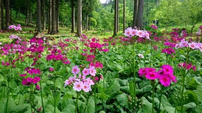 花の森クリンソウ(九輪草)