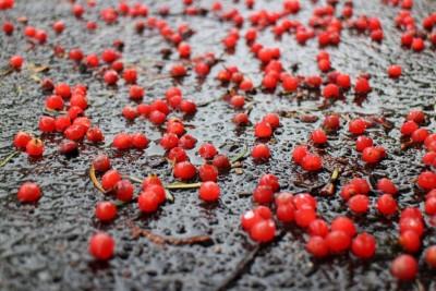 イチイの木の実