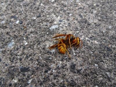 キイロスズメバチ